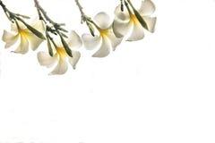 Το frangipani πλαισίων ανθίζει, κενά διαστημικά και απομονωμένα τροπικά λουλούδια Plumeria με το ψαλίδισμα του άσπρου υποβάθρου ο Στοκ Φωτογραφίες