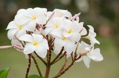Το Frangipani, Plumeria, δέντρο ναών, δέντρο νεκροταφείων είναι κοινό όνομα Στοκ Εικόνες