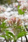 Το Frangipani, Plumeria, δέντρο ναών, δέντρο νεκροταφείων είναι κοινό όνομα Στοκ φωτογραφία με δικαίωμα ελεύθερης χρήσης