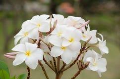 Το Frangipani, Plumeria, δέντρο ναών, δέντρο νεκροταφείων είναι κοινό όνομα Στοκ εικόνα με δικαίωμα ελεύθερης χρήσης