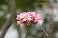 Το Frangipani, Plumeria, δέντρο ναών, δέντρο νεκροταφείων είναι κοινό όνομα Στοκ Φωτογραφία