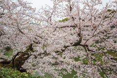 Το Fully-bloomed κεράσι ανθίζει στην τάφρο Chidorigafuchi, Chiyoda, Τόκιο, Ιαπωνία την άνοιξη Στοκ Εικόνα