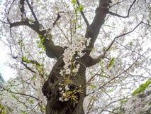 Το Fully-bloomed κεράσι ανθίζει στην τάφρο Chidorigafuchi, Chiyoda, Τόκιο, Ιαπωνία την άνοιξη Στοκ φωτογραφία με δικαίωμα ελεύθερης χρήσης