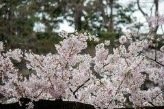Το Fully-bloomed κεράσι ανθίζει στην τάφρο Chidorigafuchi, Chiyoda, Τόκιο, Ιαπωνία την άνοιξη Στοκ φωτογραφίες με δικαίωμα ελεύθερης χρήσης