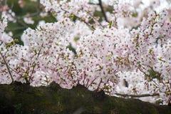 Το Fully-bloomed κεράσι ανθίζει στην τάφρο Chidorigafuchi, Chiyoda, Τόκιο, Ιαπωνία την άνοιξη Στοκ Εικόνες