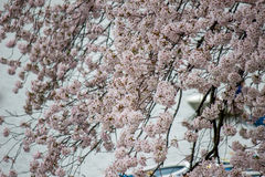 Το Fully-bloomed κεράσι ανθίζει χύνοντας στην τάφρο Chidorigafuchi, Chiyoda, Τόκιο, Ιαπωνία την άνοιξη Στοκ εικόνες με δικαίωμα ελεύθερης χρήσης