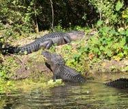 Το Gator παρουσιάζει κάτω στοκ εικόνες με δικαίωμα ελεύθερης χρήσης