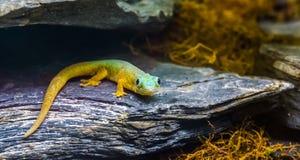 Το gecko ημέρας του Robert mertens σε έναν βράχο στην κινηματογράφηση σε πρώτο πλάνο, τροπική σαύρα από τις Κομόρες, διακινδύνεψε στοκ φωτογραφία με δικαίωμα ελεύθερης χρήσης