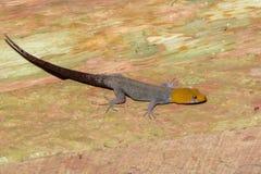 το gecko διεύθυνε κίτρινο στοκ εικόνες