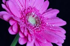 Το gerbera της Daisy με το νερό ρίχνει 2 Στοκ φωτογραφία με δικαίωμα ελεύθερης χρήσης