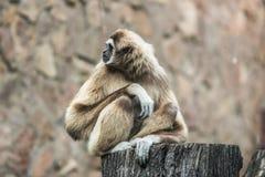 Το Gibbon κομψός wistful θέτει στοκ εικόνες