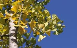 το ginkgo βγάζει φύλλα Στοκ Εικόνα