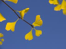 το ginko αφήνει κίτρινος Στοκ Φωτογραφία