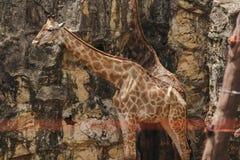 Το Giraffa είναι θηλαστικό που έχει τα ψηλά ζωικά, μακριά πόδια, μακρύς λαιμός στοκ εικόνες με δικαίωμα ελεύθερης χρήσης