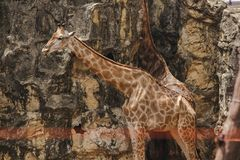 Το Giraffa είναι θηλαστικό που έχει τα ψηλά ζωικά, μακριά πόδια, μακρύς λαιμός στοκ εικόνες