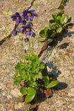 Το glandulosa Aquilegia columbine άνθησης Στοκ φωτογραφία με δικαίωμα ελεύθερης χρήσης