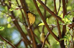 Το goldfinch σε ένα δέντρο μηλιάς στοκ φωτογραφίες