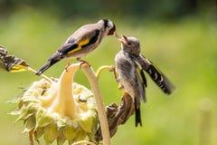 Το Goldfinch ταΐζει τη δευτεροβάθμια αύξησή του σε έναν ηλίανθο Στοκ Εικόνα