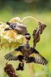 Το Goldfinch ταΐζει τη δευτεροβάθμια αύξησή του σε έναν ηλίανθο Στοκ Φωτογραφία
