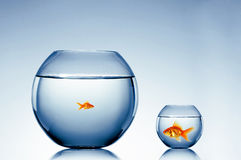 Το Goldfish κολυμπά στοκ φωτογραφία με δικαίωμα ελεύθερης χρήσης