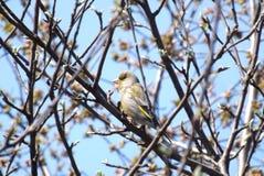 Το Greenfinch κάθεται σε έναν κλάδο δέντρων στοκ εικόνες