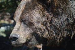 Το Grizzley αντέχει με ζωοτροφές για τα τρόφιμα Στοκ Φωτογραφία