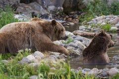 Το Grizzley αντέχει με ζωοτροφές για τα τρόφιμα Στοκ Εικόνες
