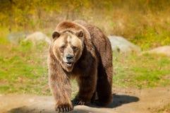 Το Grizzley αντέχει με ζωοτροφές για τα τρόφιμα Στοκ εικόνα με δικαίωμα ελεύθερης χρήσης