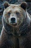 Το Grizzley αντέχει με ζωοτροφές για τα τρόφιμα Στοκ φωτογραφία με δικαίωμα ελεύθερης χρήσης
