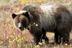 Το Grizzley αντέχει Στοκ Εικόνα
