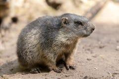 Το Groundhog κάθεται στο έδαφος και κοιτάζει στην πλευρά Στοκ φωτογραφίες με δικαίωμα ελεύθερης χρήσης