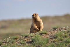 Το groundhog σε μια θέση φρουράς Στοκ εικόνες με δικαίωμα ελεύθερης χρήσης