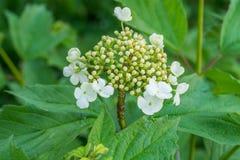 Το Guelder αυξήθηκε επηρεασθείς από τα aphids Στοκ Φωτογραφίες