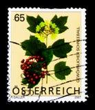 Το Guelder αυξήθηκε Viburnum Opulus, αλπικά λουλούδια serie, circa το 2007 Στοκ φωτογραφίες με δικαίωμα ελεύθερης χρήσης