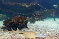 Το guitarfish Στοκ φωτογραφία με δικαίωμα ελεύθερης χρήσης
