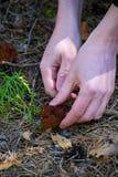 Το Gyromitra Esculenta γνωστός ως ψεύτικη μορχέλλη στο δάσος το άτομο κόβει τα μανιτάρια Στοκ Εικόνα