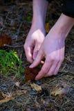 Το Gyromitra Esculenta γνωστός ως ψεύτικη μορχέλλη στο δάσος το άτομο κόβει τα μανιτάρια Στοκ Εικόνες