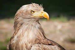 το haliaeetus αετών albicilla παρακολούθησε το λευκό Στοκ εικόνα με δικαίωμα ελεύθερης χρήσης