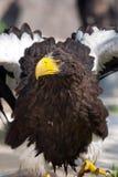 το haliaeetus αετών albicilla παρακολούθ&e Στοκ Φωτογραφία