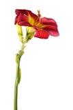 Το Hemerocallis, λουλούδι κήπων, απομόνωσε το άσπρο υπόβαθρο Στοκ Φωτογραφία