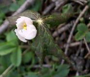 Το Himalayan μπορεί Apple, hexandrum Podophyllum, ινδικό podophyllum Στοκ Φωτογραφία