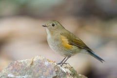 Το Himalayan bluetail Στοκ εικόνες με δικαίωμα ελεύθερης χρήσης