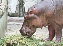 Το Hippo βόσκει στο ζωολογικό κήπο Στοκ Εικόνα