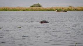 Το Hippo κολυμπά σε έναν αφρικανικό ποταμό στην επιπλέουσα βάρκα υποβάθρου με τους ψαράδες φιλμ μικρού μήκους