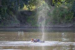 Το Hippo ρουθουνίζει Στοκ φωτογραφία με δικαίωμα ελεύθερης χρήσης