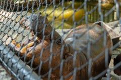 Το Hippopotamus το ανοίγει στόμα ` s για να πάρει μερικά τρόφιμα στοκ φωτογραφίες με δικαίωμα ελεύθερης χρήσης