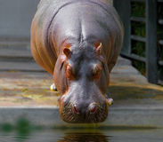 Το hippopotamus ζωολογικών κήπων είναι έτοιμο να πιει το νερό Στοκ Φωτογραφίες