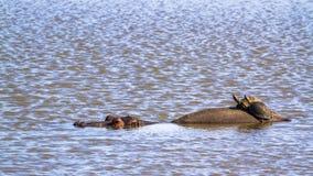 Το Hippopotamus και angulate στο εθνικό πάρκο Kruger, Sout Στοκ φωτογραφία με δικαίωμα ελεύθερης χρήσης