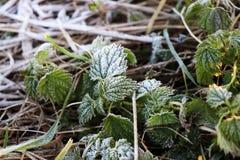 Το Hoarfrost στο πράσινο βγάζει φύλλα και προέρχεται της χλόης Στοκ Εικόνα