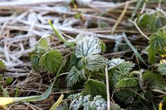 Το Hoarfrost στο πράσινο βγάζει φύλλα και προέρχεται της χλόης Στοκ Εικόνες
